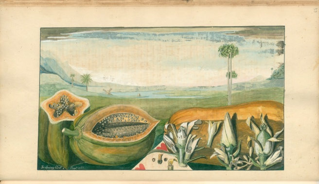 Watercolour illustration from old manuscript showing papaya fruit cut open, papaya flowers closed and open for botnaical identification and a landscape in the background with a papya tree, palm tree, water and hills.